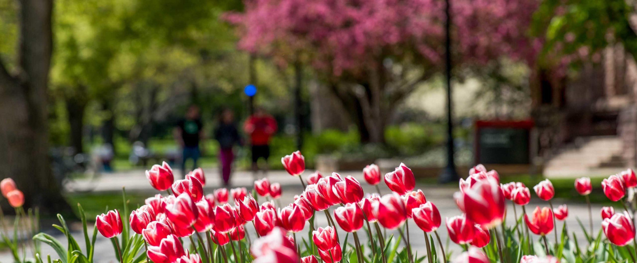 red tulips blooming on the oval